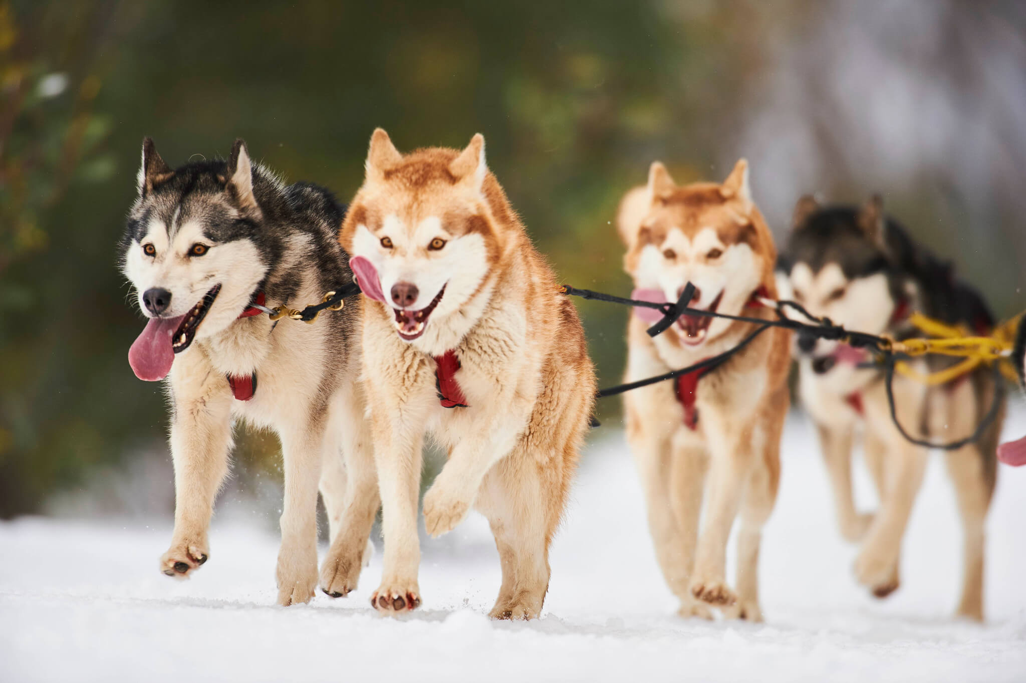 pack of husky dogs pulling a sled at Mt Buller in Australia in the Southern Hemisphere